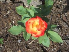 Vibrant Rose