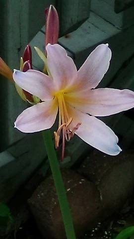 pinklilly