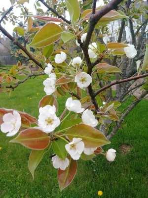 blossoms2019 3