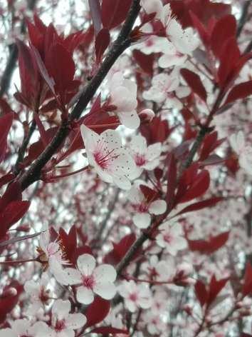 blossoms2019 5