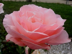 rose LRGlightPink