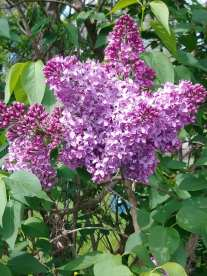 Lilacs in sunshine 4 Grandma Auburn Designs 5-2019.jpg