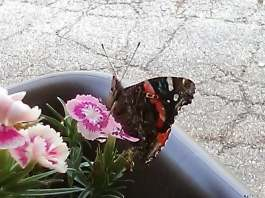 Butterfly on Sweet Williams