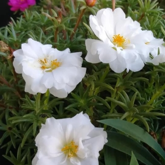 Moss rose WHITE close