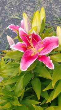 Lillies in bloom 2020